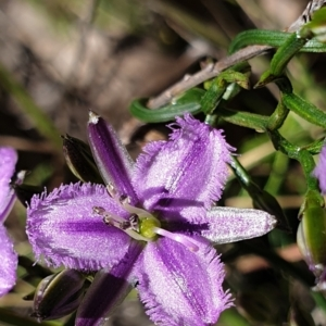 Thysanotus patersonii (TBC) at suppressed by drakes