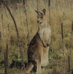 Macropus giganteus (Eastern Grey Kangaroo) at Theodore, ACT - 22 Sep 2021 by michaelb
