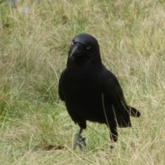 Corvus mellori (Little Raven) at Mount Clear, ACT - 18 Oct 2021 by Christine