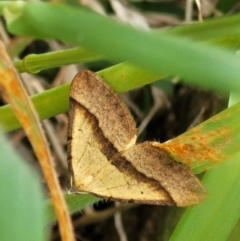 Unidentified Moth (Lepidoptera) (TBC) at Denman Prospect, ACT - 21 Oct 2021 by tpreston