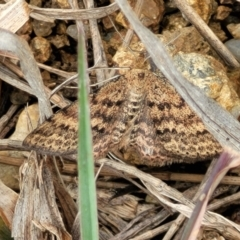 Unidentified Moth (Lepidoptera) (TBC) at Molonglo Valley, ACT - 21 Oct 2021 by tpreston
