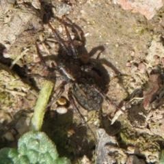 Artoria sp. (genus) (Unidentified Artoria wolf spider) at Mount Clear, ACT - 18 Oct 2021 by Christine
