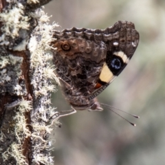 Vanessa itea (TBC) at Mount Clear, ACT - 18 Oct 2021 by SWishart