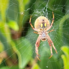 Unidentified Orb-weaving spider (several families) (TBC) at Holt, ACT - 21 Oct 2021 by tpreston