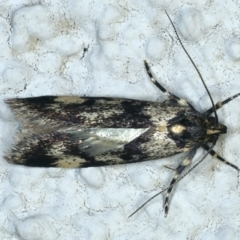 Palimmeces leucopelta (A concealer moth) at Ainslie, ACT - 17 Oct 2021 by jbromilow50