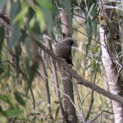 Artamus cyanopterus (Dusky Woodswallow) at Holbrook, NSW - 20 Oct 2021 by Darcy