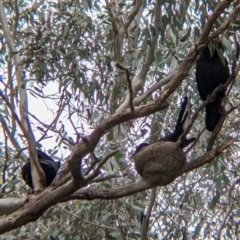 Corcorax melanorhamphos (White-winged Chough) at Holbrook, NSW - 20 Oct 2021 by Darcy