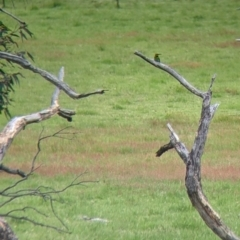 Merops ornatus (Rainbow Bee-eater) at Holbrook, NSW - 21 Oct 2021 by Darcy