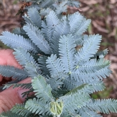 Acacia baileyana (Cootamundra Wattle, Golden Mimosa) at Woomargama, NSW - 21 Oct 2021 by Darcy