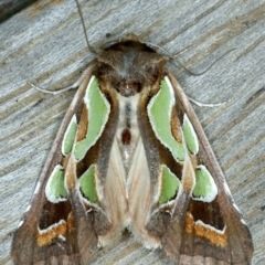 Cosmodes elegans (Green Blotched Moth) at Ainslie, ACT - 16 Oct 2021 by jbromilow50