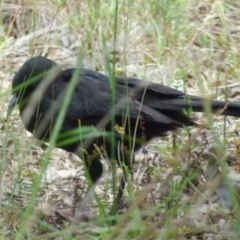 Corcorax melanorhamphos (White-winged Chough) at Queanbeyan West, NSW - 21 Oct 2021 by Paul4K