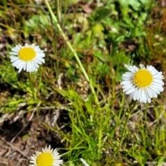 Calotis anthemoides (Chamomile burr-daisy) at Bungendore, NSW - 22 Oct 2021 by tpreston