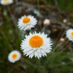 Leucochrysum albicans subsp. tricolor (Hoary Sunray) at Watson, ACT - 20 Oct 2021 by MB