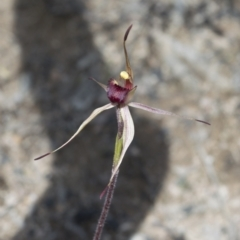Caladenia montana (Mountain spider orchid) at Tennent, ACT - 21 Oct 2021 by BrianH