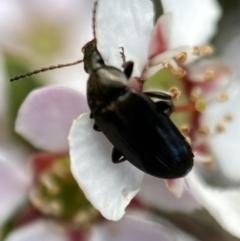 Unidentified Beetle (Coleoptera) (TBC) at Jerrabomberra, NSW - 22 Oct 2021 by Steve_Bok