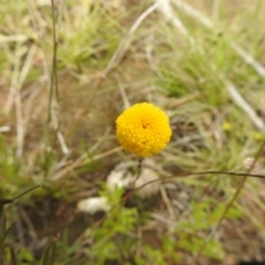 Leptorhynchos squamatus (Scaly Buttons) at Carwoola, NSW - 21 Oct 2021 by Liam.m