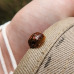 Unidentified Leaf beetle (Chrysomelidae) (TBC) at Paddys River, ACT - 23 Oct 2021 by Liam.m