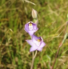 Thelymitra pauciflora (TBC) at Hawker, ACT - 22 Oct 2021 by sangio7
