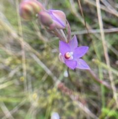 Thelymitra sp. (pauciflora complex) (TBC) at Hall, ACT - 10 Oct 2021 by Rosie