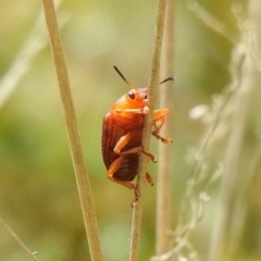 Unidentified True bug (Hemiptera, Heteroptera) (TBC) at Paddys River, ACT - 22 Oct 2021 by Liam.m