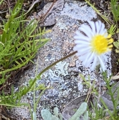 Calotis anthemoides (Chamomile burr-daisy) at Macarthur, ACT - 24 Oct 2021 by RAllen