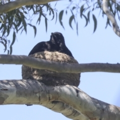Corcorax melanorhamphos (White-winged Chough) at Molonglo Valley, ACT - 23 Oct 2021 by AlisonMilton