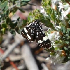 Idalima affinis (TBC) at Jerrabomberra, NSW - 23 Oct 2021 by Steve_Bok