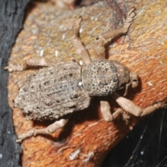 Unidentified Weevil (Curculionoidea) (TBC) at Tennent, ACT - 23 Oct 2021 by Harrisi