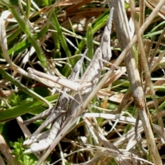 Keyacris scurra (Key's Matchstick Grasshopper) at Mount Clear, ACT - 24 Oct 2021 by MichaelMulvaney