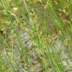 Juncus flavidus (TBC) at Kambah, ACT - 24 Oct 2021 by MatthewFrawley