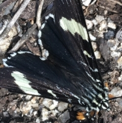 Eutrichopidia latinus (TBC) at Mount Clear, ACT - 24 Oct 2021 by Ned_Johnston