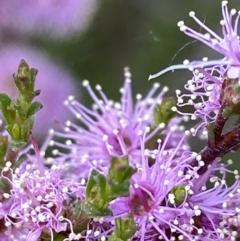Kunzea parvifolia (Violet kunzea) at Deakin, ACT - 25 Oct 2021 by KL
