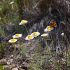 Leucochrysum albicans subsp. tricolor (Hoary Sunray) at Tralee, NSW - 25 Oct 2021 by MB