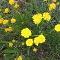 Calotis lappulacea (Yellow burr daisy) at Molonglo Valley, ACT - 20 Oct 2021 by sangio7