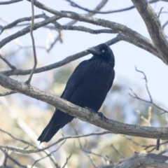 Corvus coronoides (Australian Raven) at Higgins, ACT - 9 Oct 2021 by AlisonMilton
