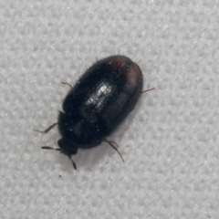 Unidentified Other beetle (TBC) at Bruce, ACT - 27 Sep 2021 by AlisonMilton