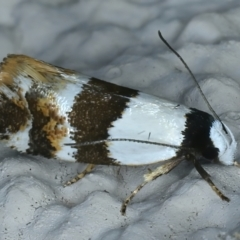 Euphiltra eroticella (A concealer moth) at Ainslie, ACT - 23 Oct 2021 by jbromilow50