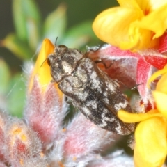 Ethonion reichei (A jewel beetle) at Booth, ACT - 23 Oct 2021 by Harrisi