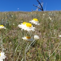 Leucochrysum albicans subsp. tricolor (Hoary Sunray) at Molonglo Valley, ACT - 26 Oct 2021 by Rebeccajgee