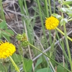 Calotis lappulacea (Yellow burr daisy) at Watson, ACT - 23 Oct 2021 by MAX