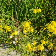 Senecio madagascariensis (Fireweed) at Jerrabomberra, ACT - 26 Oct 2021 by Mike