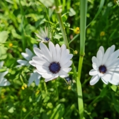 Dimorphotheca ecklonis (African Daisy) at Jerrabomberra, ACT - 26 Oct 2021 by Mike