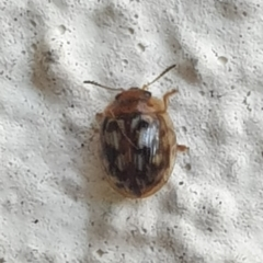 Unidentified Leaf beetle (Chrysomelidae) (TBC) at Turner, ACT - 26 Oct 2021 by LD12