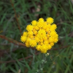 Chrysocephalum semipapposum (Clustered Everlasting) at Acton, ACT - 23 Oct 2021 by abread111