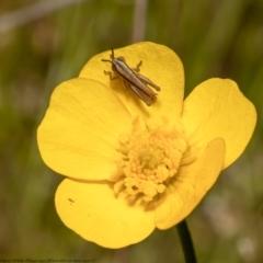 Macrotona australis (Common Macrotona Grasshopper) at Molonglo Valley, ACT - 25 Oct 2021 by Roger