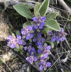 Ajuga australis (Austral Bugloss) at Mount Clear, ACT - 26 Oct 2021 by BrianH