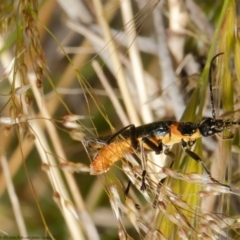 Chauliognathus lugubris (Plague Soldier Beetle) at Molonglo Valley, ACT - 25 Oct 2021 by Roger