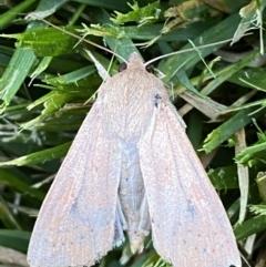 Unidentified Moth (Lepidoptera) (TBC) at Jerrabomberra, NSW - 26 Oct 2021 by Steve_Bok