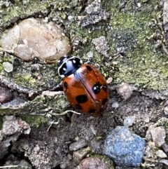 Hippodamia variegata (Spotted Amber Ladybird) at suppressed - 26 Oct 2021 by Steve_Bok