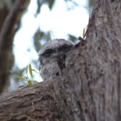 Podargus strigoides (Tawny Frogmouth) at suppressed - 26 Oct 2021 by Amy
